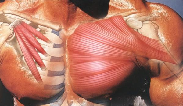 внутренне строение грудных мышц