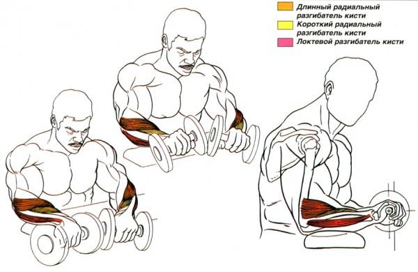 упражнение для преплечий разгибание кистей анатомия