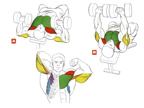 мышцы упражнения для груди жим гантелей