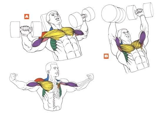 мышцы упражнения для груди жим на наклонной скамье