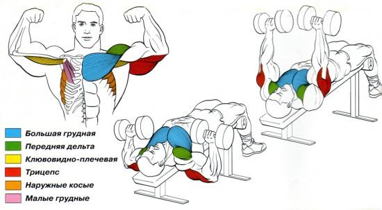 сжема мышц при жиме гантелей обратным наклоном