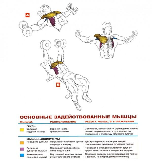 упражнения для груди мышцы при разведениях