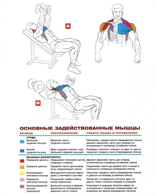 мышцы развеление гантелей наклон вверх